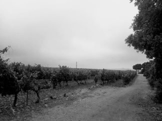 Camino Vineyards
